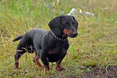 Shorthair dachshund. Dog at the green grass Royalty Free Stock Photo