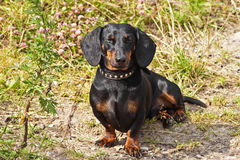 Shorthair dachshund. Dog at the green grass Royalty Free Stock Images