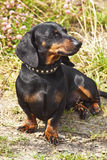 Shorthair dachshund Royalty Free Stock Images
