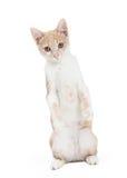 Shorthair domestico adorabile Kitten Begging Immagini Stock Libere da Diritti