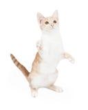 Shorthair domestico attivo Kitten Swiping Paw Fotografia Stock