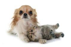 Shorthair et chiwawa exotiques de chaton Photo stock
