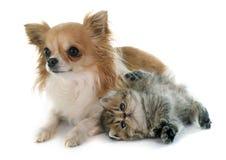 Shorthair et chiwawa exotiques de chaton Photographie stock libre de droits