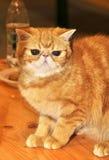 Shorthair exotique de chat rouge image libre de droits
