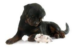 Shorthair exotique de rottweiler et de chaton Images stock