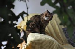 Shorthair exotique entre les usines Se reposer sur un sofa jaune photo libre de droits