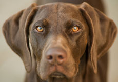 Shorthair german pointer eyes Royalty Free Stock Photos