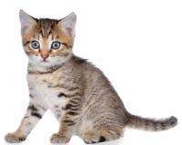 Shorthair getijgerd katje stock afbeeldingen