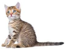 Shorthair getijgerd katje stock afbeelding