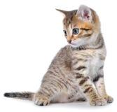 Shorthair getijgerd katje stock foto