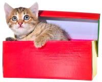 Shorthair getijgerd katje in een kleurrijke doos stock foto