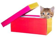 Shorthair getijgerd katje in een kleurrijke geïsoleerde doos royalty-vrije stock afbeelding