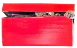 Shorthair getijgerd katje in een kleurrijke geïsoleerde doos stock foto's