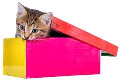 Shorthair getijgerd katje in een kleurrijke geïsoleerde doos royalty-vrije stock foto
