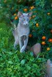 Shorthair Gray Cat Of Oriental Breed Playing i en parkera Arkivfoto