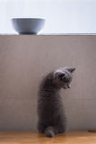 Shorthair kitten and food bowl. Indoor shooting royalty free stock images