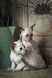 Shorthair oriental kittens Stock Photos