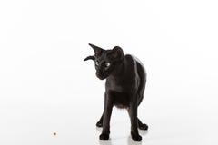 Shorthair oriental negro curioso Cat Sitting en la tabla blanca con la reflexión Fondo blanco Mirada abajo Comida en la tierra Imágenes de archivo libres de regalías