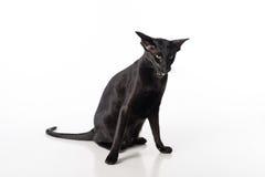 Shorthair oriental preto curioso Cat Sitting na tabela branca com reflexão Fundo branco Abra a boca irritado Foto de Stock