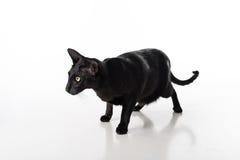 Shorthair oriental preto curioso Cat Standing na tabela branca com reflexão Fundo branco Fotografia de Stock Royalty Free