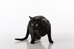 Shorthair oriental preto curioso Cat Standing na tabela branca com reflexão Fundo branco Vista à esquerda Fotografia de Stock Royalty Free