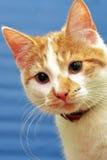 Shorthair rot-weiße Katze Lizenzfreies Stockbild