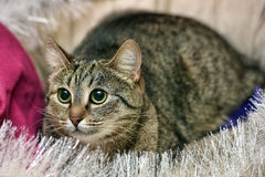 Shorthair tabby cat Royalty Free Stock Images