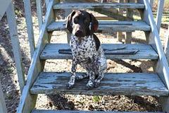 Немецкий щенок Shorthaired указателя вверху мир стоковая фотография rf