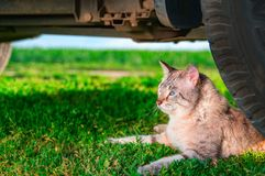 Shorthaired cat lies in green grass. Portrait cute cat with blue eyes lies next to the car wheel. Outdoor shot at sunny day. Copy space Royalty Free Stock Images