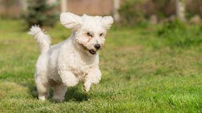 Shorthaired Coton de Tulear dog Stock Photo