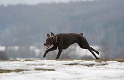 Shorthaired german pointer. Running in the snow royalty free stock photos
