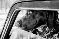 shorthaired pointer dog is waiting Stock Image