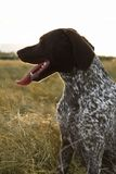 Shorthaired Pointer in field. Royalty Free Stock Photo