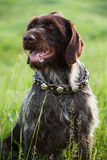 Shorthaired Pointer hunting dog breed is sitting Stock Photos