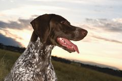 Shorthaired Pointer panting. Royalty Free Stock Photography