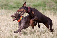 Shorthaired pointer playing with a doberman Stock Photo