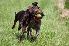 Shorthaired pointer playing with a doberman Stock Photos