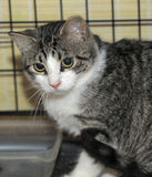 Shorthaired tabby cat in a cage Royalty Free Stock Photos