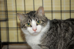 Shorthaired tabby cat in a cage Stock Photography