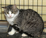 Shorthaired tabby cat in a cage Royalty Free Stock Photography