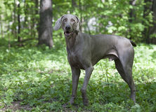 Shorthaired Weimaraner dog outdoor Royalty Free Stock Photos