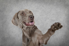 Shorthaired Weimaraner dog waving hello Stock Images