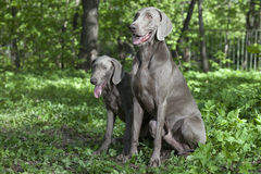 Shorthaired Weimaraner dogs outdoor Royalty Free Stock Photos