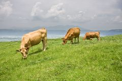 Shorthorn cattle feeding grass Royalty Free Stock Images
