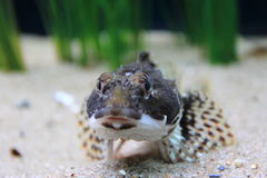 Shorthorn sculpin Royalty Free Stock Photos