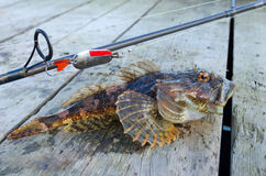 Shorthorn sculpin fishing trophy Stock Images