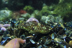 Shorthorn sculpin Royalty Free Stock Images