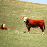 Shorthorn White Faced Bull and Cow. Shorthorn Bull and cow standing in a dry pasture stock image