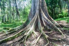 Shortleaf fikonträd royaltyfri fotografi