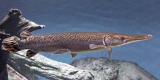 Shortnose Gar (Lepisosteus platostomus) Obraz Stock